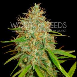 Afgan Kush X Skunk - World of seeds - léčebná semena