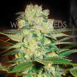 Afgan Kush X White Widow - Worl of Seeds - léčebná semena