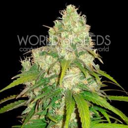 Afgan Kush X Yumbolt - Worl of Seeds - léčebná semena