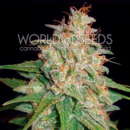 Mazar X White Rhino - World of seeds - léčebná semena