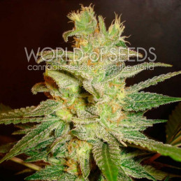 Northern Light X Big Bud - World of seeds - léčebná semena