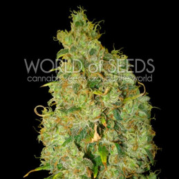 Northern Light X Skunk - World of seeds - léčebná semena