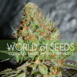 Afgan Kush Special - World of Seeds - feminizovaná semena