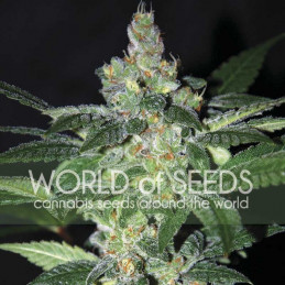 Amnesia - World of Seeds - feminizovaná semena