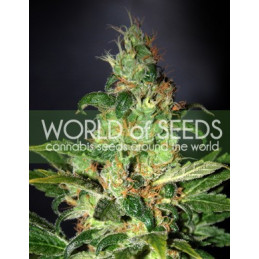 Chronical Haze - World of Seeds - feminizovaná semena