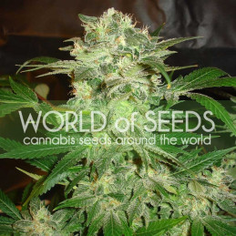 Mazar Kush - World of Seeds - feminizovaná semena