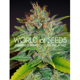 Skunk 47 - World of Seeds - feminizovaná semena