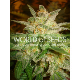 Star 47 - World of Seeds - feminizovaná semena