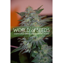 Yumbolt 47 - World of Seeds - feminizovaná semena