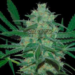 Pakistan valley - World of Seeds - regular - 10 ks