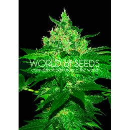 Afgan Kush - World of Seeds -  feminizovaná semena