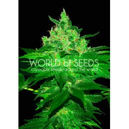 Afgan Kush - World of Seeds -  feminizovaná semena