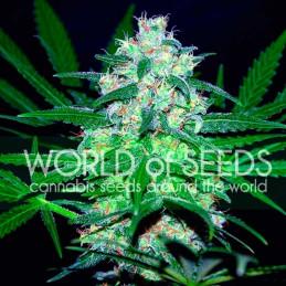Pakistan Valley - World of Seeds- feminizovaná semena