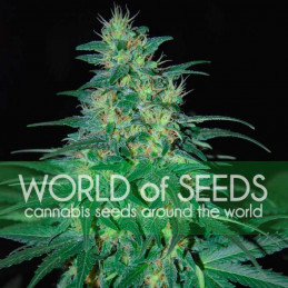 South African Kwasulu - World of Seeds - feminizovaná semena