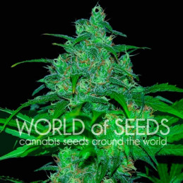 Wild Thailand - World of Seeds - feminizovaná semena