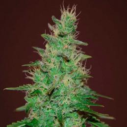 El Alquimista Auto - Samsara Seeds - autoflowering