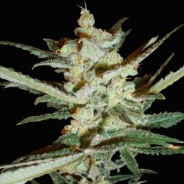 Supersonic Cristal Storm - Samsara Seeds - autoflowering