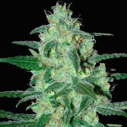 Thunder Bloody Mary - Samsara Seeds - autoflowering