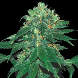 Punky Lion - Samsara Seeds - feminizovaná semena - indica