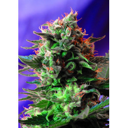 Jack 47 F1 Fast Version® - Sweet seeds ( AKCE  3+1ks , 5+2ks )