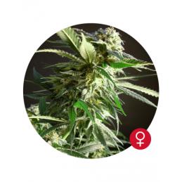 Silver Star Haze - Bulldog seeds - feminizovaná semena - 5 ks