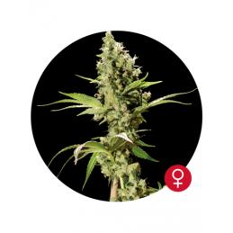 Sour Diesel - Bulldog Seeds  - feminizovaná semena - 5 ks