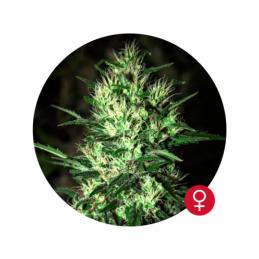 Jack Herer - Bulldog Seeds  - feminizovaná semena - 5 ks