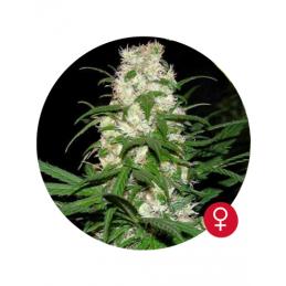 Energy Haze - Bulldog Seeds  - feminizovaná semena - 5 ks