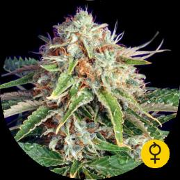 Fast Ryder I  - Buldog Seeds  - autoflowering
