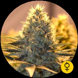 Jack Herer Auto - Bulldog Seeds  - autoflowering - 5 ks