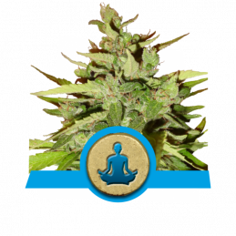 Stress Killer Autom. - Royal Queen Seeds - medical autoflowering
