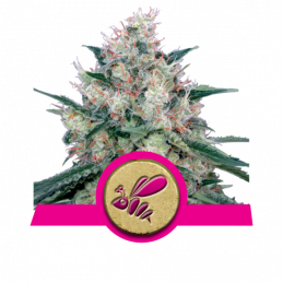 Honey Cream (Fast Flowering) -  Royal Queen Seeds - feminizovaná semena