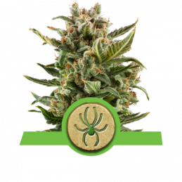 White Widow Automatic - Royal Queen Seeds - autoflowering