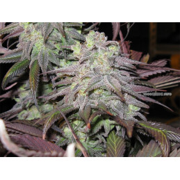 Purple LA - DNA Genetics - Limited Collection - feminizovaná