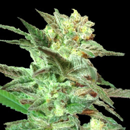 Honey Boo Boo - DNA Genetics - Limited Collection - regular