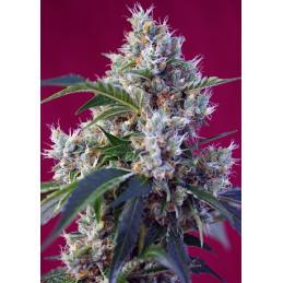 Indigo Berry Kush® - Sweet Seeds - feminizovaná semena