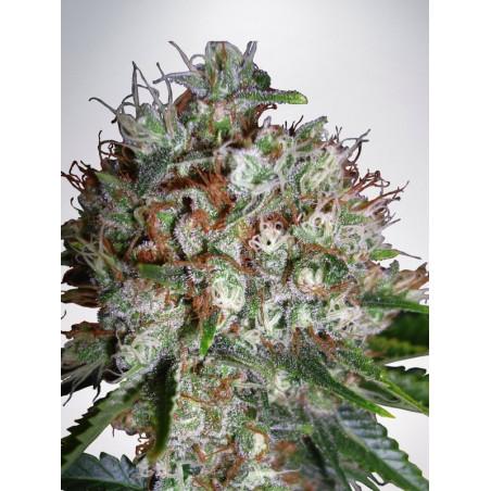 Big Bud XXL - Ministry of Cannabis - feminizovaná semena