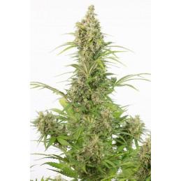 White Whidow CBD Auto - Dinafem - léčebná  autoflowering semena