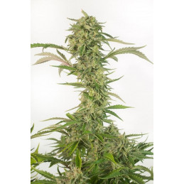 OG Kush Autoflowering CBD - Dinafem - léčebná  autoflowering semena