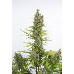 Amnesia Auto CBD - Dinafem - léčebná  autoflowering semena