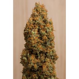 Green Crack CBD - Humbold Seeds - léčebná  feminizovaná semena