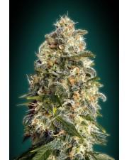 Heavy Bud - Advanced Seeds - feminizovaná semena