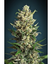 Ice Kush - Advanced Seeds - feminizovaná semena