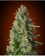 Kali 47 - Advanced Seeds - feminizovaná semena