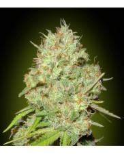 Shark Widow - Advanced Seeds - feminizovaná semena