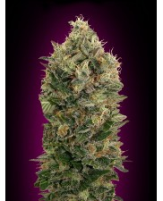 Auto Black Diesel - Advanced Seeds - autoflowering