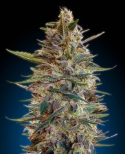 Auto Blue Diesel - Advanced Seeds - autoflowering