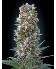 Auto Heavy Bud - Advanced Seeds - autoflowering