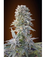 Auto Jack Herer - Advanced Seeds - autoflowering