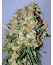 Feminized Col.2 - Advanced Seeds (2 od každého: Critical, Ice Kush, Somango Widow) - 6 ks
